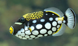 Close-up view of a Clown triggerfish Royalty Free Stock Photos