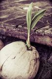 Close-up view of coconut sprout Stock Images