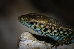 Close up view of a colored reptile Royalty Free Stock Photography