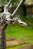 Columbia boa constrictor. Royalty Free Stock Photos