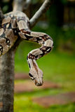 Columbia boa constrictor. Royalty Free Stock Images