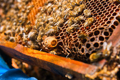 Close up view of the comb with young bee queen. Close up showing Stock Image