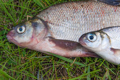 Close up view of common bream fish and silver bream or white bre Stock Image