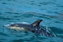Close up view of a common dolphin Stock Image