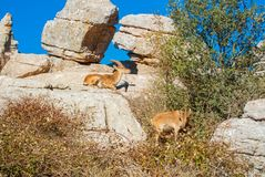 Close-up view of a couple of Iberian ibex, Spanish wild goats, a. T the top of big stone in the mountains in the warm evening sunlight, El Torcal natural park Royalty Free Stock Image