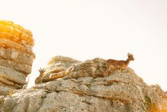 Close-up view of a couple of Iberian ibex, Spanish wild goats, s. Tanding at the top of big stone in the mountains in the warm evening sunlight, El Torcal Royalty Free Stock Images