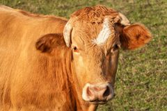 Close-up view of cow`s head. Evening in the pasture. The cow is looking into the lens. Stock Photography