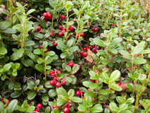 Close up view of the cowberry field. Close view of the cowberry field with a lot of red berries and green leaves royalty free stock photo