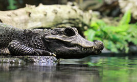Close-up view crocodile Stock Image