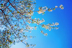 Close up view on crone of blossoming cherry tree Stock Photography