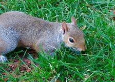 Close Up Image of a Cute Grey Squirrel in the Grass stock image