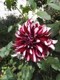 Close-up view of Dahlia `Contraste` garnet and white decorative in the sun