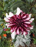Close-up view of a Dahlia `Contraste` garnet and white decorative visited by an insect