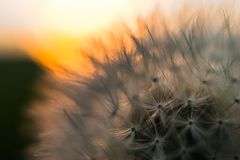 Close-up view of a dandelion, blowball against the sunset Royalty Free Stock Images