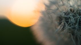 Close-up view of a dandelion, blowball against the sunset Royalty Free Stock Photo