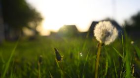 Close-up view of dandelion flower at sunset. stock footage