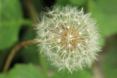 Close up view of Dandelion Seed Pods stock images