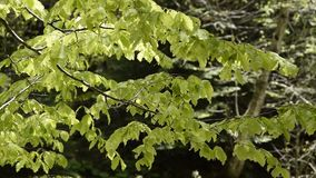 Close up view of breeze on tree branch. Close up view of delicate breeze on tree branch stock footage