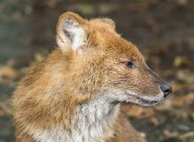 Close up view of a Dhole royalty free stock photo