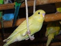 Juvenile Budgie on a swing. A close up view of a dilute yellow and green juvenile budgie playing on a swing royalty free stock image