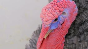 Close up view of domestic turkey Royalty Free Stock Image