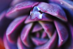Close up view of drop of water on a purple plant. Macro. Beautiful backgrounds Stock Photography