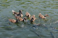 Close up view of ducklings with mother and flock of fishes swimming. In water royalty free stock photos