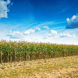 Close up view on edge of corn field in harvest. With beaty blue cloudy sky Royalty Free Stock Photos