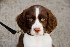 Close Up View of English Springer Spaniel Puppy. Cute, little puppy curiously looking forward Stock Photos