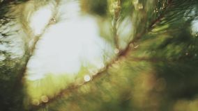 Close-up view of the evergreen needle in the pine tree. Beautiful fresh forest background in bright day. Sun rays shining through the branch, foliage stock video