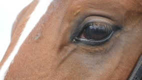 Close up view of the eye of a beautiful brown horse. Equine eye blinking stock footage