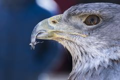 Close-up view of the head of a blue eagle used in falconry. Close-up view of the face of an eagle stock photography