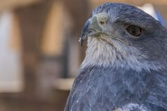 Close-up view of the head of a blue eagle used in falconry. Close-up view of the face of an eagle royalty free stock photos