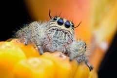 Close-up view face of jumper spider Hyllus cf. semicupreus Stock Photography