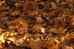 Close-up view of fallen maple leaves in the Autumn park. Close-up view of fallen maple leaves. Background of maple leaves from Autumn Pulkovo park royalty free stock images