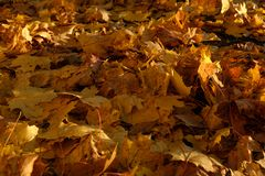 Close-up view of fallen maple leaves in the Autumn park. Close-up view of fallen maple leaves. Background of maple leaves from Autumn Pulkovo park stock photo