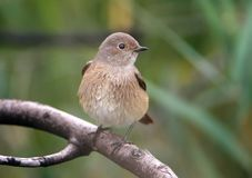 Close up view on female of The common redstart Phoenicurus phoenicurus. Sits on a branch Royalty Free Stock Photo