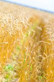 Close-up view of field of rye Stock Photography