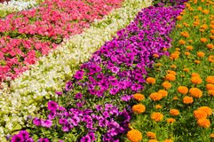 Close-up view of flower bed Royalty Free Stock Photography