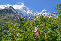 Close-up view of flowering alpine meadows royalty free stock photo