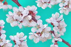 Flowers of the apple tree blossoming on blue marine background stock photos