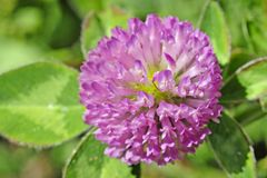 A close up view of a flowering red clover. stock photography