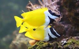 Close-up view of a Foxface rabbitfish Stock Photos