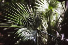 Close-up view of fresh green palm tree leaf royalty free stock photography