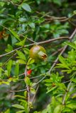 Close up view of fresh pomegranate fruit on green background fro. M leaves, tree, red, nature, bright, close-up, branch, color, food, colorful, flower, leaf royalty free stock photos