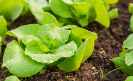 Close up view of Fresh salad leave Butter head lettuce Stock Photo