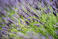 Close up view of the fresh violet lavender blossoms Stock Image