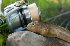 Close up view of freshwater bullhead fish or round goby fish jus. Freshwater bullhead fish or round goby fish known as Neogobius melanostomus and Neogobius Royalty Free Stock Images