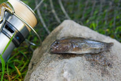 Close up view of freshwater bullhead fish or round goby fish jus. Freshwater bullhead fish or round goby fish known as Neogobius melanostomus and Neogobius Stock Photos