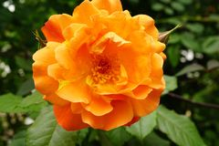 Close-up front view of a bright orange inflorescences Caucasian. Close-up view of the front of a large bright orange inflorescences Caucasian varieties of rose Royalty Free Stock Image